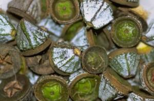 eucalipto semillas usos salud