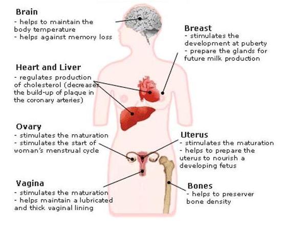 7 funciones estrogenos
